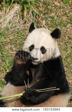Giant panda bear feeding himself shoots of bamboo.
