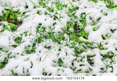 snow on the green grass fell unexpectedly in the spring when everything was already blossoming and green