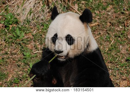 Cute panda bear holding on to a shoot of bamboo while eating it.
