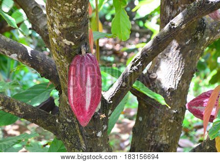 Cocoa Fruit Growing On The Tree