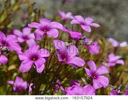 Geranium maderense, Madeira cranesbill plant growing wild in Teide National Park of Tenerife, Canary Islands,Spain. Pink geranium flowers.