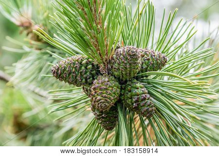 Family of the cones growing together on summer time