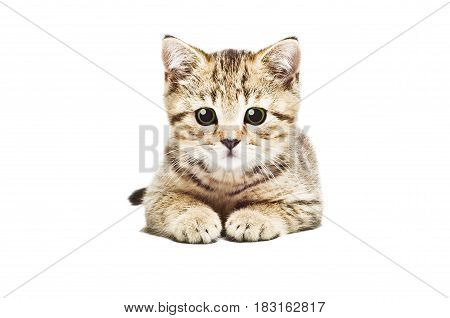 Portrait of adorable kitten Scottish Straight, isolated on white background