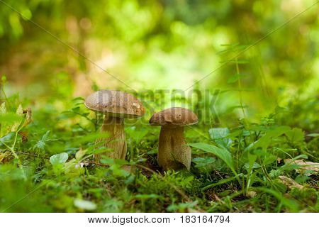 Two boletus mushrooms growing in the green forest
