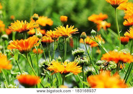 Orange pot marigold blooming - Calendula officinalis field .