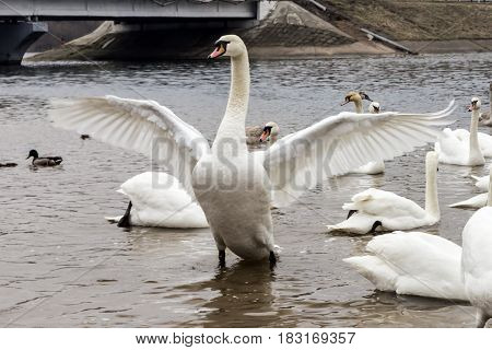 Swan with outstretched wings in lake (Minsk sea, Belarus)