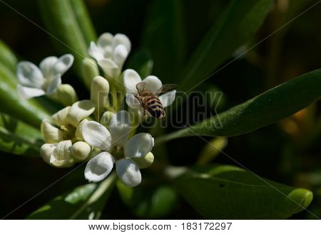 Valencian orange and orange blossoms. Maltese orange blossoms. The fruit of the Citrus -sinensis is considered a sweet orange