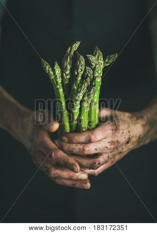 Bunch of fresh seasonal green asparagus in dirty man' s hands, selective focus. Gardening and local farmer' s market concept