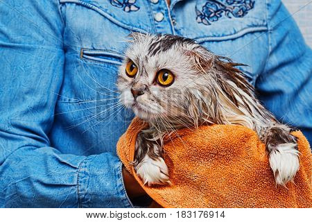 Wet just washed lop-eared cat of highland scottish fold breed in bathroom holded in hands