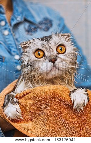 Just washed highland fold washed ed cat sitting on hands with widely opened amber eyes