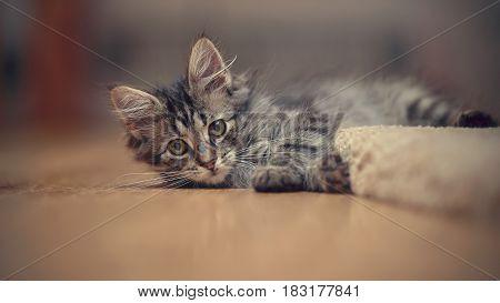 The gray kitten plays on a floor.