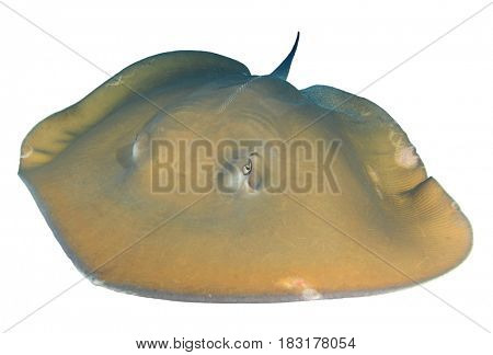Stingray. Jenkin's Ray on white background