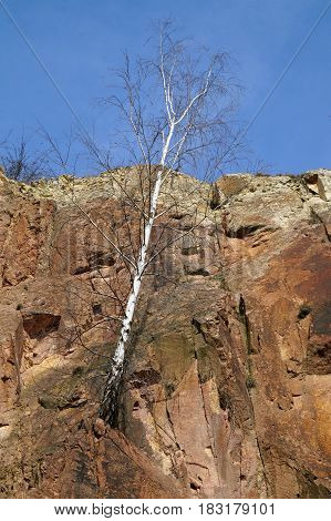 Birch at the porphyry mountain in the spring