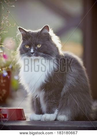 Beautiful fluffy cat of a smoky color with yellow eyes.