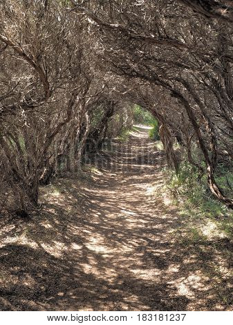 Path thorugh a tunnel formed by small coastal trees Cape Schanck Australia 2017