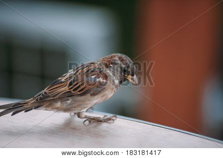 Brown Sparrow In The Street On A Green Background