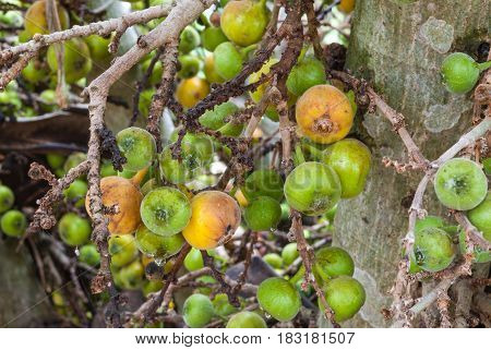 Closeup To Raw And Ripe Of Cluster Fig/ Goolar (gular)/ Ficus Racemosa L. / Moraceae