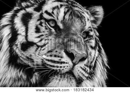 Powerful black and white high contrast animal portrait of a tiger face