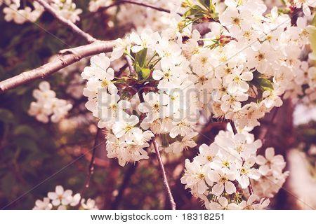 Cherry glowers on tree.