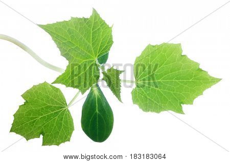 cucumber green plant isolated on white background