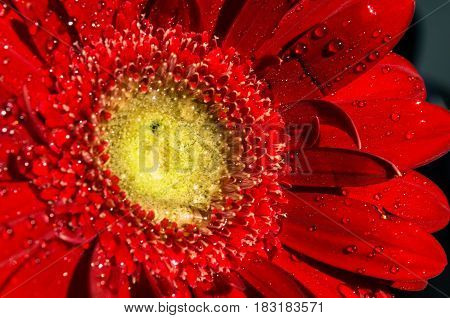 Beautiful red flower with pure dew drops on top close up background .bright red gerbera. purity concept.