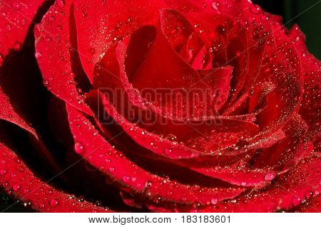 Beautiful red flower with dew drops on top close up .bright red rose. purity concept.