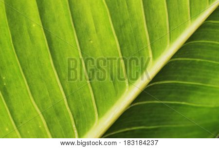 Green leaves have beautiful stripes as the background