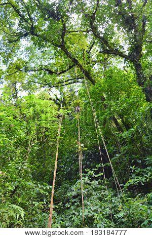 Tropical rainforest in Dominica Caribbean island. Lush green foliage