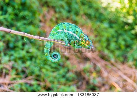 Chameleon on a branch against green background