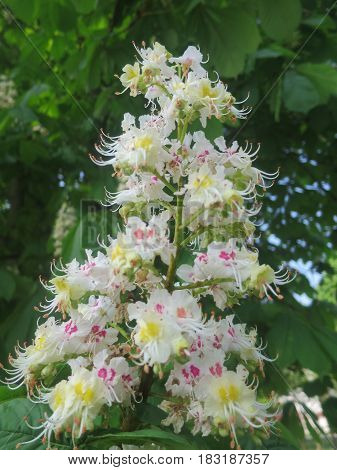 Horse chestnut flower Horse chestnut flower Horse chestnut flower