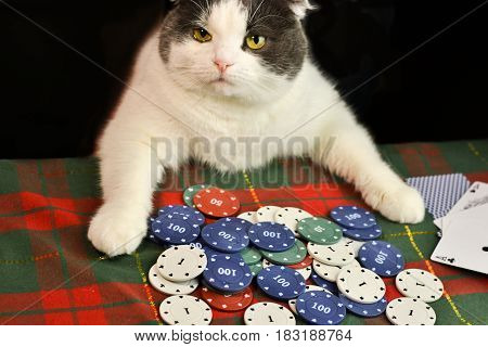 Serious fat flap-eared cat concentratedly playing poker
