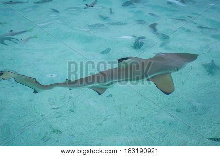 Blacktip Shark In Moorea Island Lagoon
