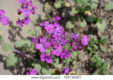Bright Violet Flowers Of Lunaria Annua In Spring