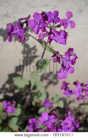 Flowering Lunaria Annua Plant On Neutral Background