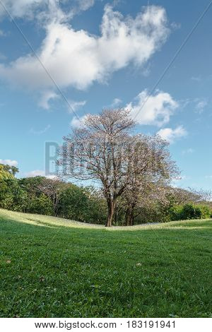Pink flowers Tabebuia rosea blossom in lawn with sky background