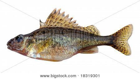 The Eurasian Ruffe (Gymnocephalus cernuus) or simply Ruffe is a freshwater fish found in temperate regions of Europe and northern Asia. poster