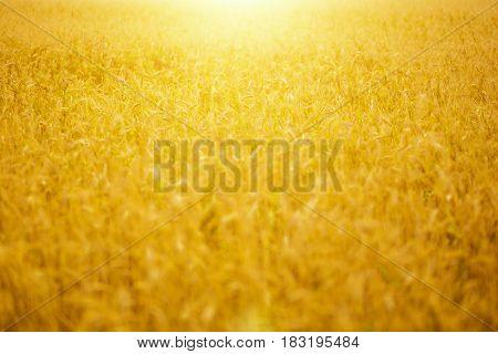 Yellow Wheat Field On The Sunset.