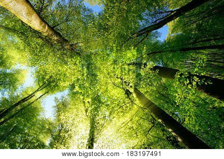 Rays of sunlight falling through a tree canopy create an enchanting atmosphere in a fresh green forest