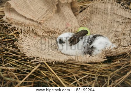 Cute Rabbit Lying With Green Apple On Sackcloth