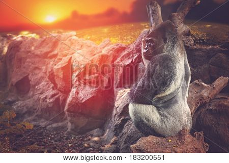 Gorilla Sitting On A Rock