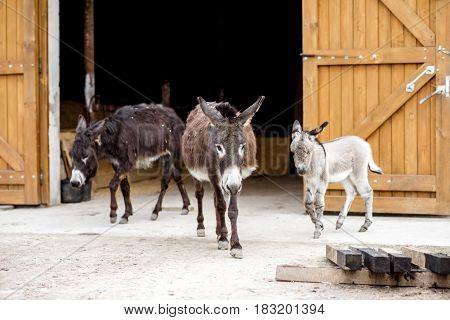 Three donkeys at the farm near the barn