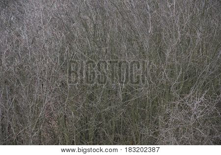 Thick tree or bush branches bare leafless on autumn day outdoors on grey background. Dead nature and depression