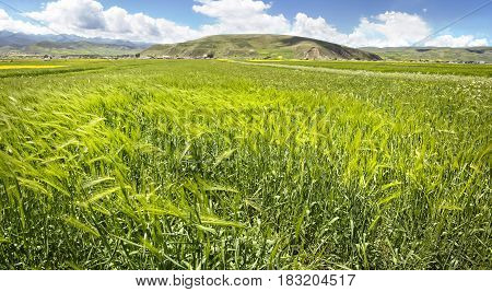 Green Wheat Ears In The Valley