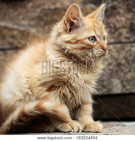 Cute kitten or kitty cat pet young small domestic animal with red fluffy fur coat tail green eyes and whiskers sitting outdoors on stone wall. Good fortune and luck