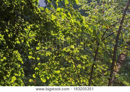 Green birch leaves natural background at sunny day