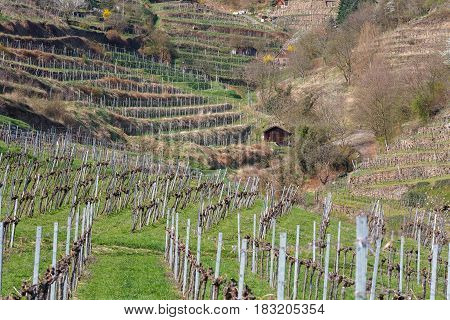 Terraced vineyards in the Wachau valley. The district of Krems-Land, Lower Austria.