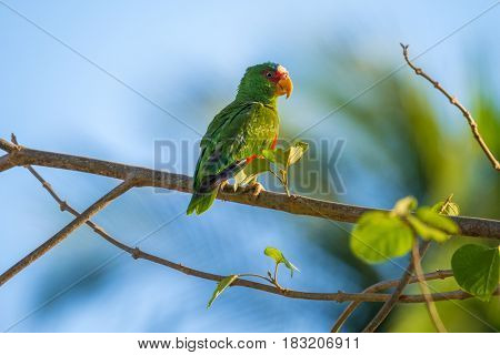 Red lored parrot (Amazona autumnalis) on the branch.