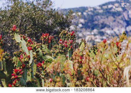 Exotic Succulent Plants Growing On Nice's Hillside