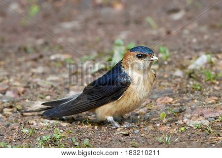 Red-rumped swallow sitting on the ground in its habitat