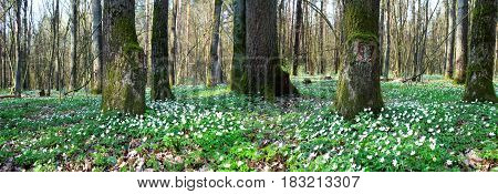Panoramic image of white flowers in the forest.